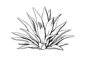 Maguey clipart picture download Collection of Agave clipart | Free download best Agave ... picture download
