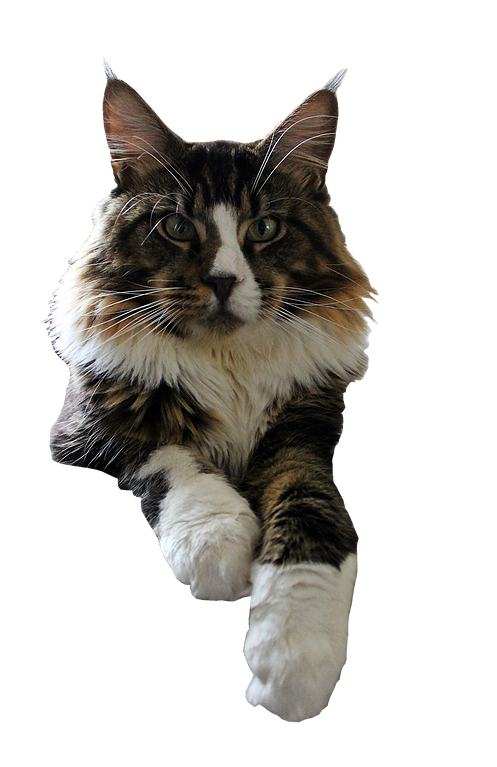 Maine coon cat clipart graphic library library cattery graphic library library