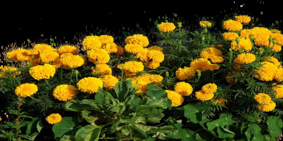 Marigold flower clipart png transparent download Marigold Clipart Transparent - 11778 - TransparentPNG png transparent download