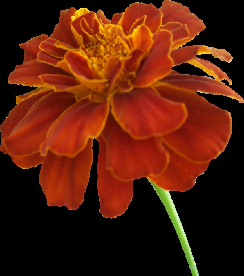 Marigold flower clipart banner royalty free Marigold PNG 01 by Thy-Darkest-Hour on DeviantArt banner royalty free