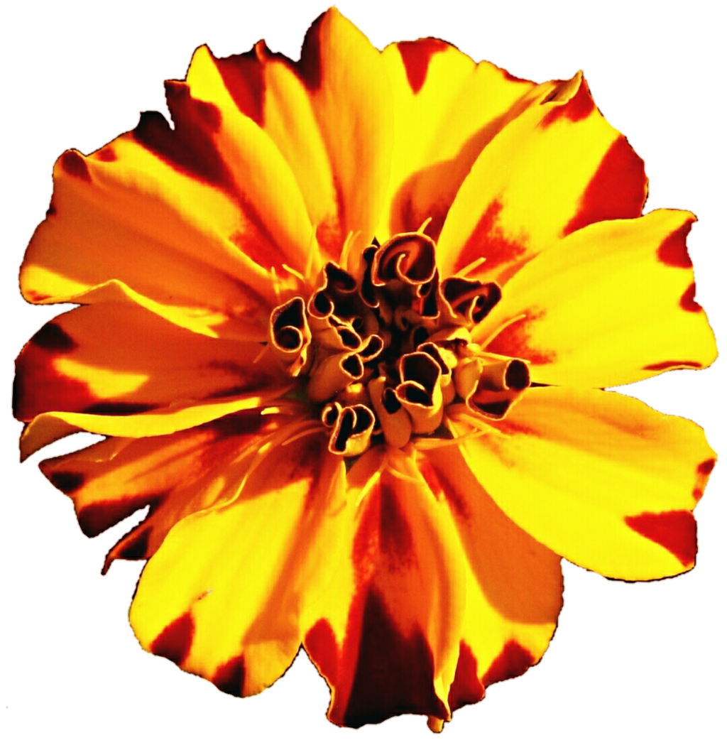 Marigold flower clipart clipart royalty free library Red and Gold Marigold by jeanicebartzen27 on DeviantArt clipart royalty free library