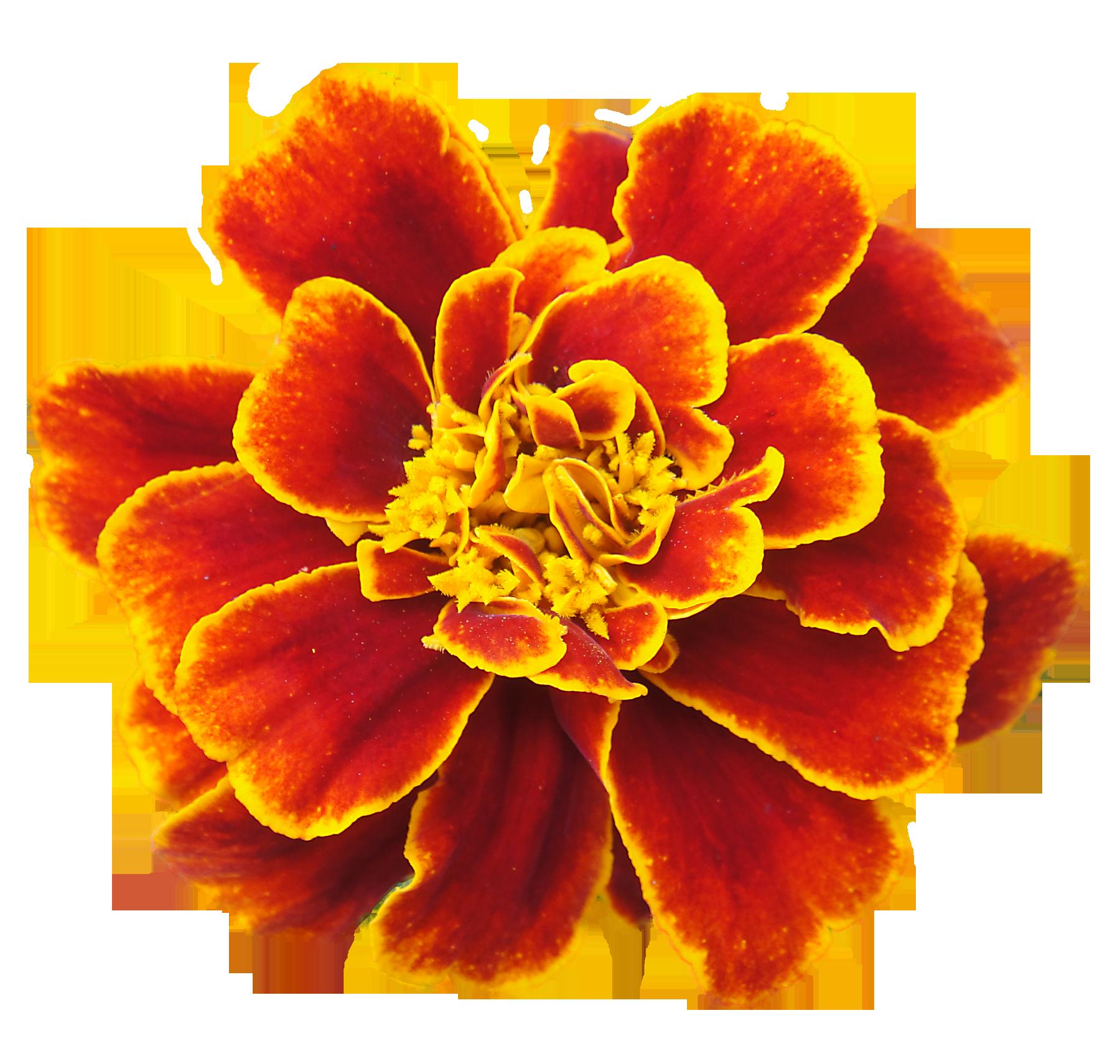 Marigold flower clipart clip art black and white download San Francisco Marigolds | Pinterest | Marigold, San francisco and Tattoo clip art black and white download