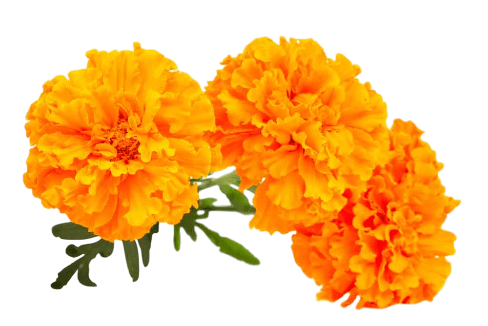 Marigold flower clipart royalty free library Lutein from marigold flowers | WEDDING RECEPTION VENUE DECORATION ... royalty free library