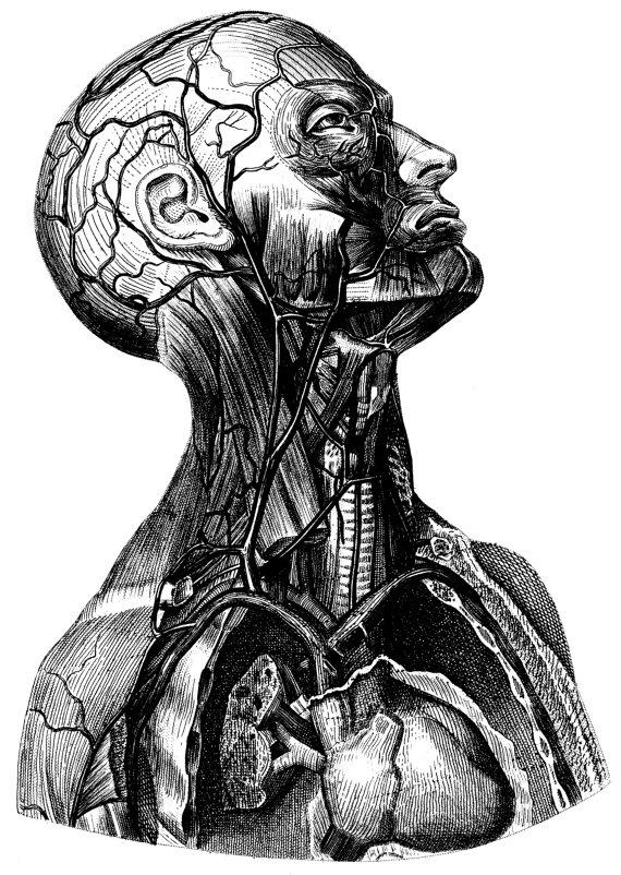 Medical artwork clipart graphic transparent Human Anatomy Old medical atlas illustration Digital Image graphic transparent