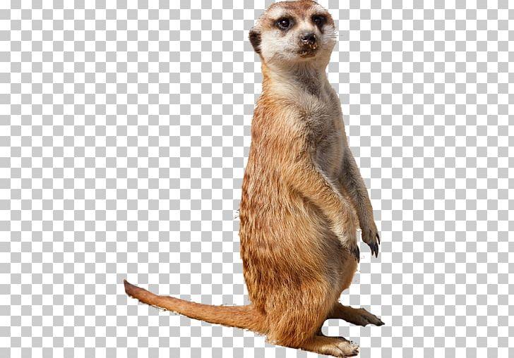 Meerkat mustache clipart