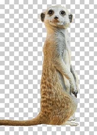 Meerkat mustache clipart free library Meerkat Animal Mongoose PNG, Clipart, Animal, Carnivoran ... free library
