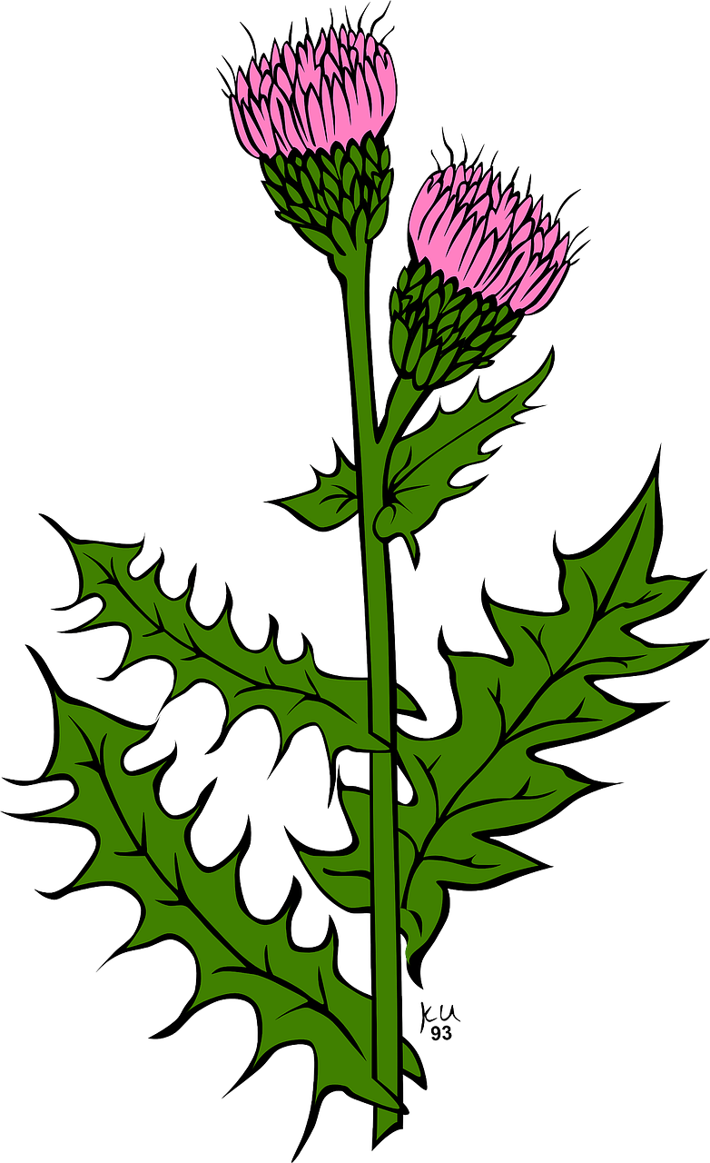Milk thistle clipart clip free library Scotland, Flowers Thistle Milk Thistle Purple Violet ... clip free library