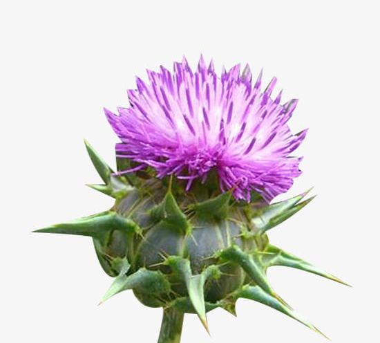 Milk thistle clipart png black and white stock A Piece Of Milk Thistle Flower Buds PNG, Clipart, Bud, Buds ... png black and white stock
