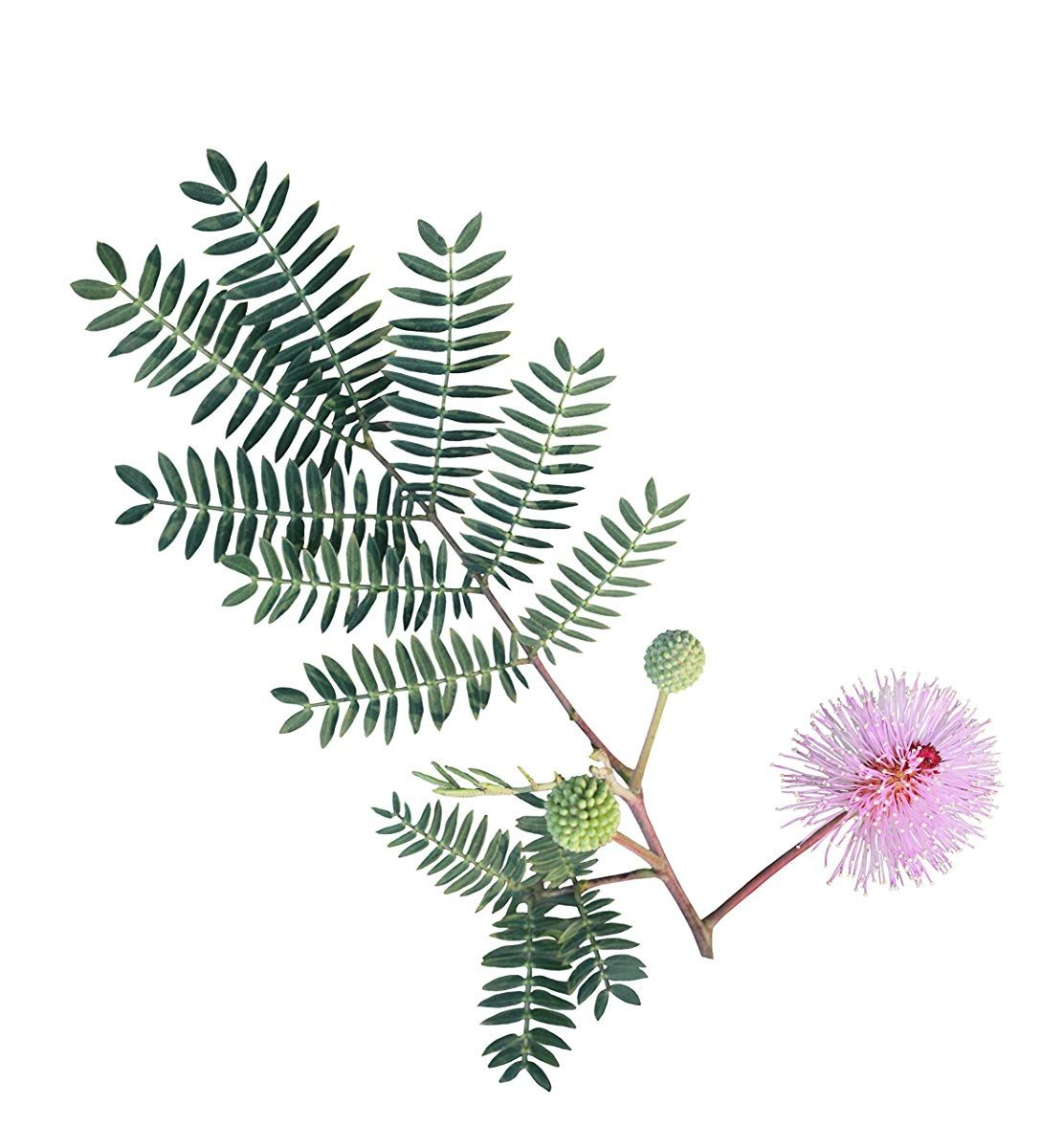 Mimosa tree clipart banner library library Sensitive Plant Seeds | Garden Plants | Plant leaves ... banner library library
