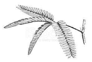 Mimosa tree clipart clip art free download Antique Illustration of Mimosa Pudica (sensitive Plant ... clip art free download