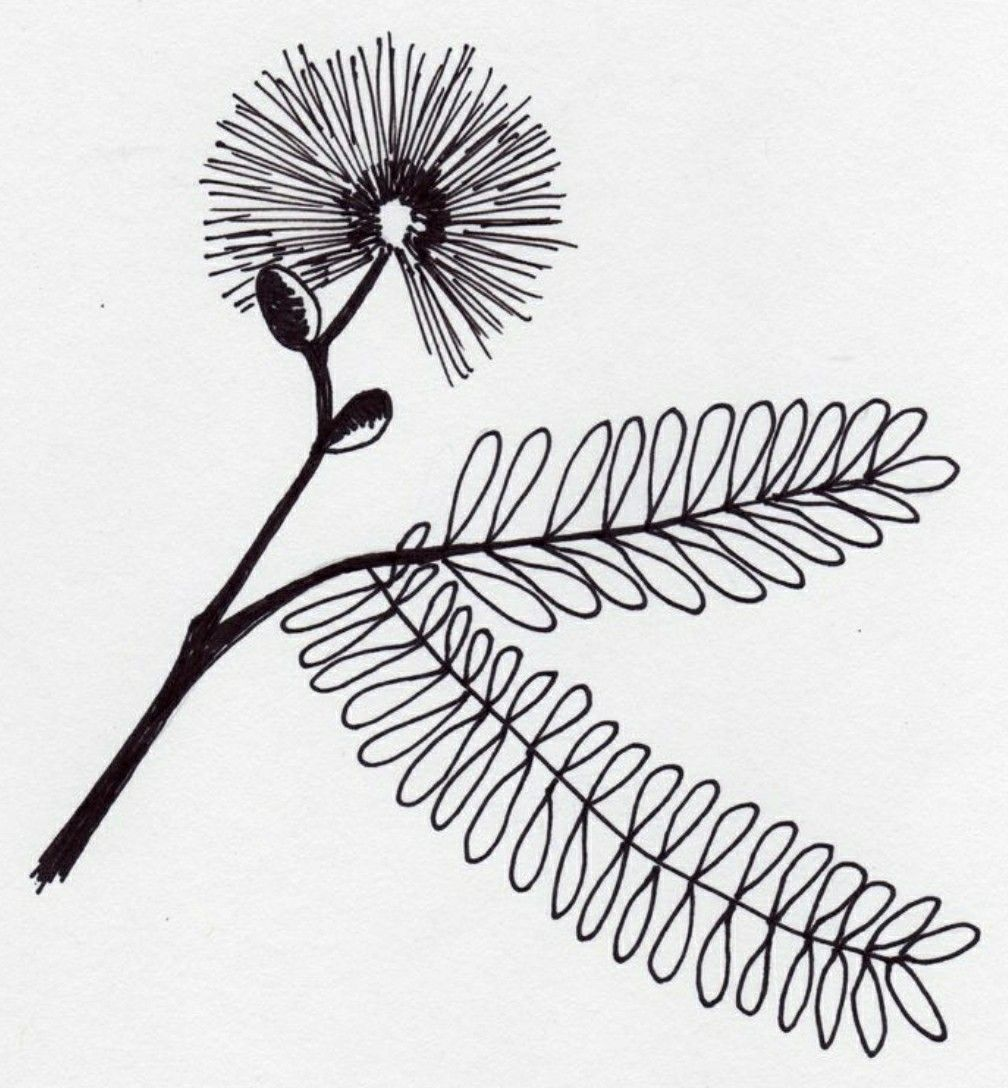 Mimosa tree clipart image library Mimosa tree, inner arm | Tat it up! in 2019 | Plant tattoo ... image library