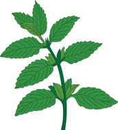 Mint clipart jpg freeuse library Mint clipart - ClipartFest jpg freeuse library