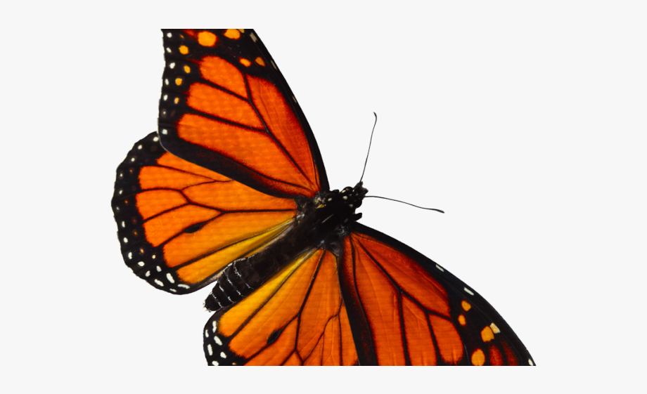 Monarch butterfly clipart banner transparent Monarch Butterfly Clipart Overlay - Orange Butterfly Png ... banner transparent