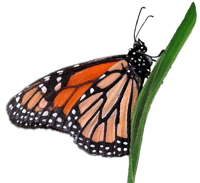 Monarch butterfly clipart free picture transparent stock Free monarch butterfly clipart - ClipartFest picture transparent stock