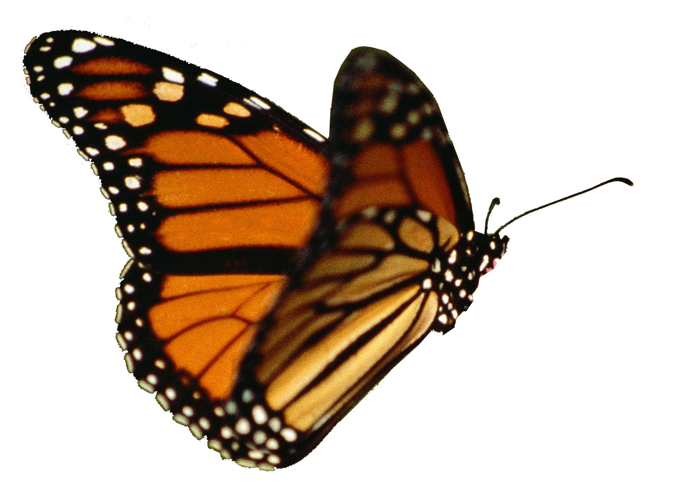 Monarch butterfly clipart free black and white stock Realistic butterfly clipart free - ClipartFest black and white stock