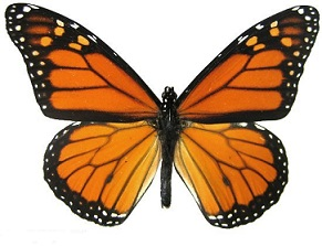 Monarch butterfly clipart free freeuse stock Free monarch butterfly clipart - ClipartFox freeuse stock