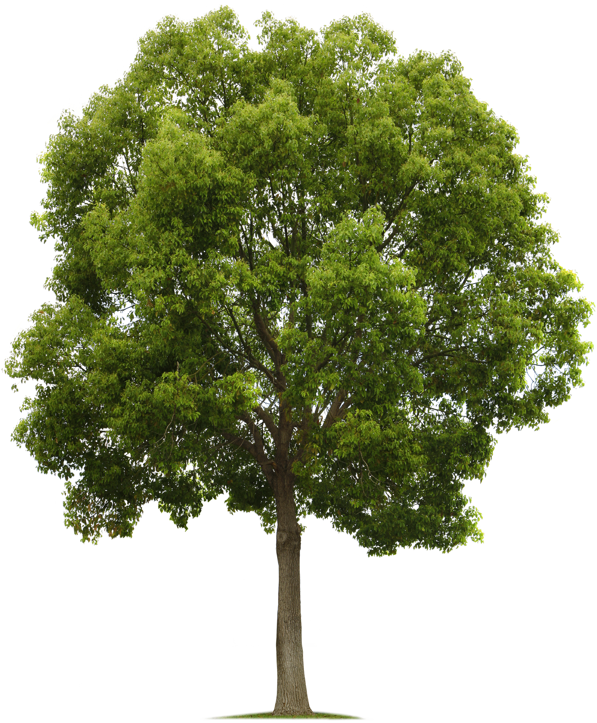 Walnut tree clipart png download Tree.png (1903×2304) | PHOTOSHOP | Pinterest | Photoshop ... png download