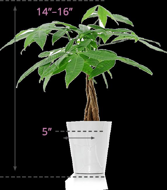 Money plant clipart banner free Money Plant Images Png: Jade money tree rooweb clipart. banner free