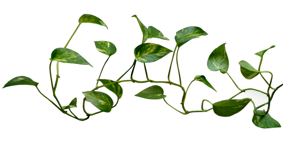 Money plant clipart picture download 28+ Collection of Money Plant Images Clipart | High quality, free ... picture download