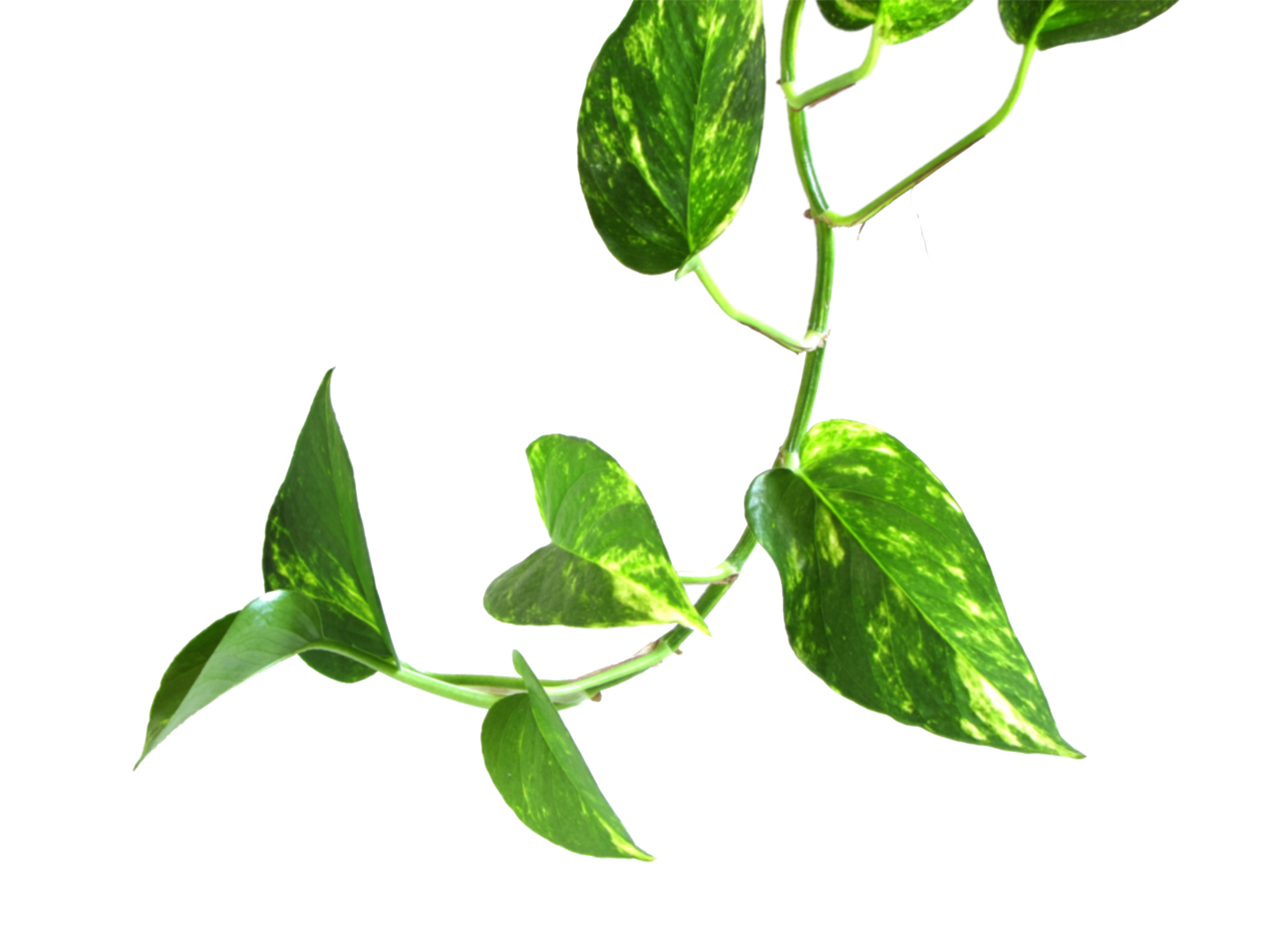 Money plant clipart image stock Vine Money plant leaf transparent image image stock
