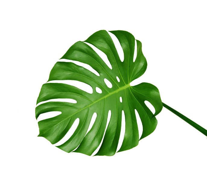 Monstera leaf clipart picture royalty free download Leaf, Green, Plant png clipart free download picture royalty free download