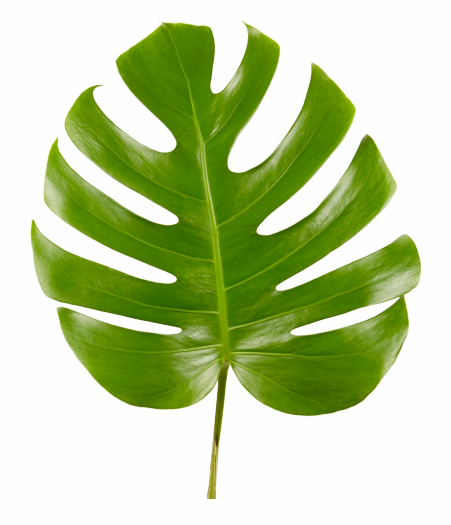 Monstera leaf clipart vector library library Monstera Leaf - Monstera Leaf Transparent Free PNG Images & Clipart ... vector library library