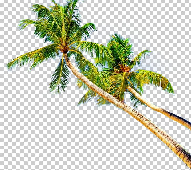 Montego bay clipart picture library library Montego Bay Coconut Plant Stem Leaf Branching PNG, Clipart ... picture library library