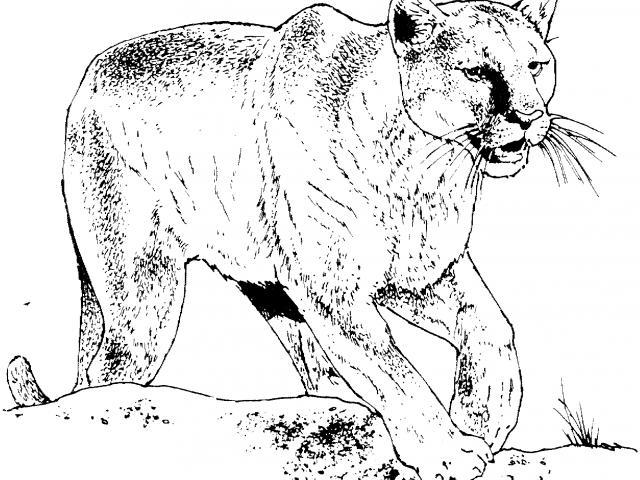 Mountain lion clipart black and white jpg freeuse download Free Mountain Lion Clipart, Download Free Clip Art on Owips.com jpg freeuse download