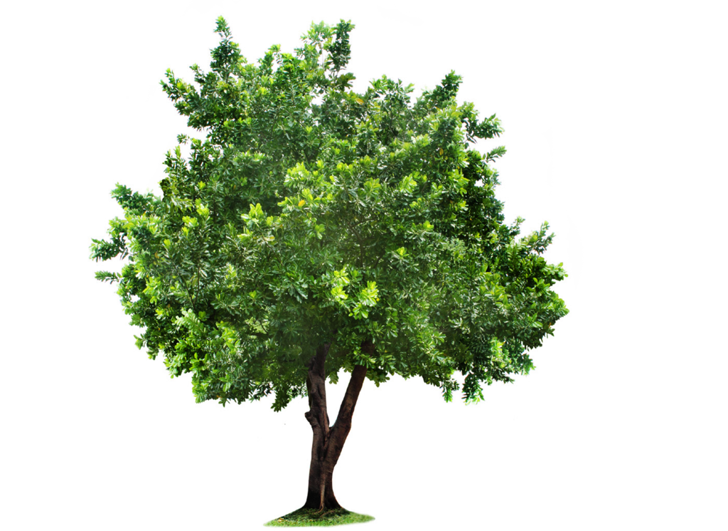 Mulberry tree clipart clip black and white download Tree PNG Transparent Images | PNG All clip black and white download