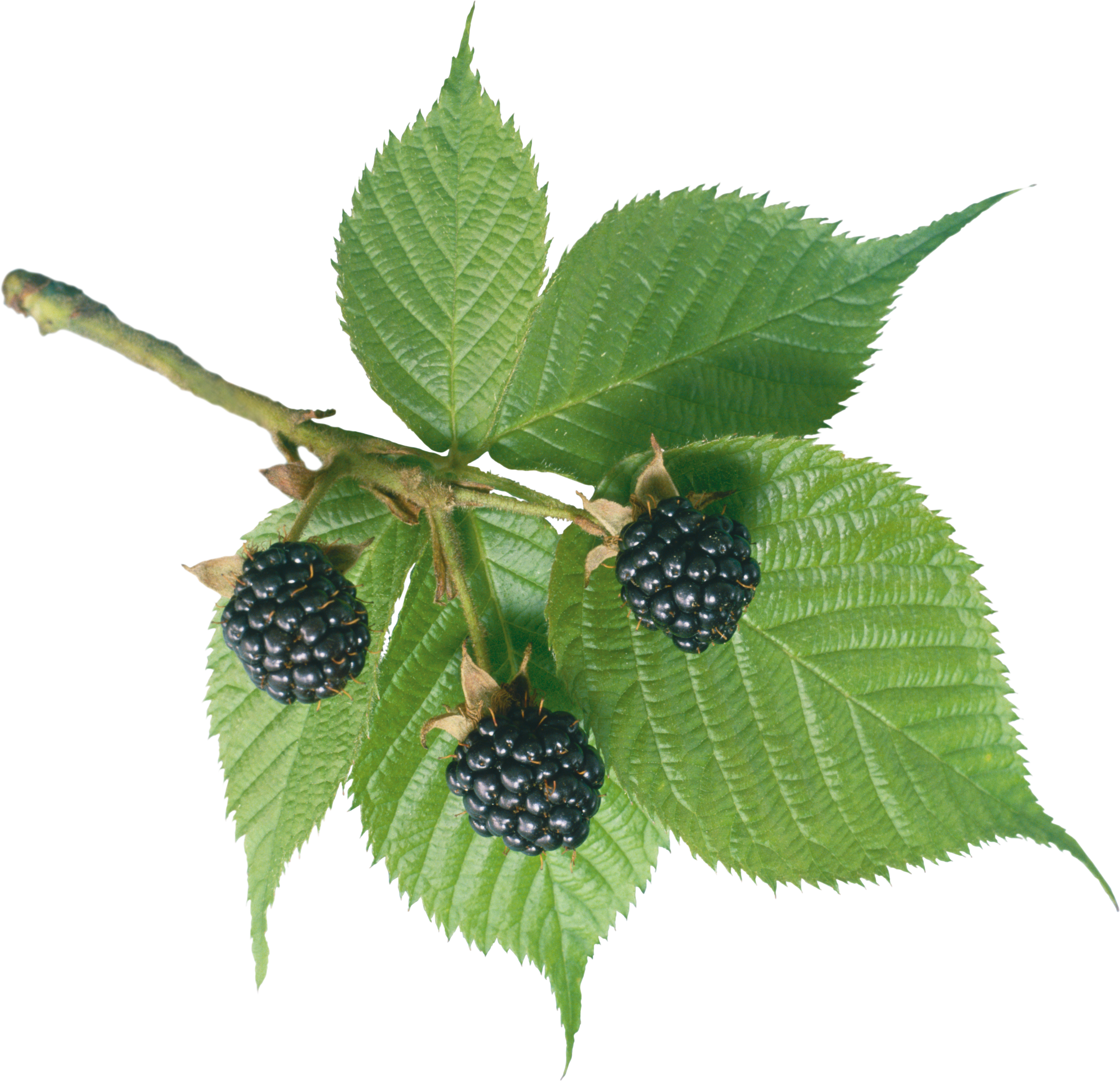 Mulberry tree clipart image free stock Blackberry PNG Image - PurePNG | Free transparent CC0 PNG Image Library image free stock