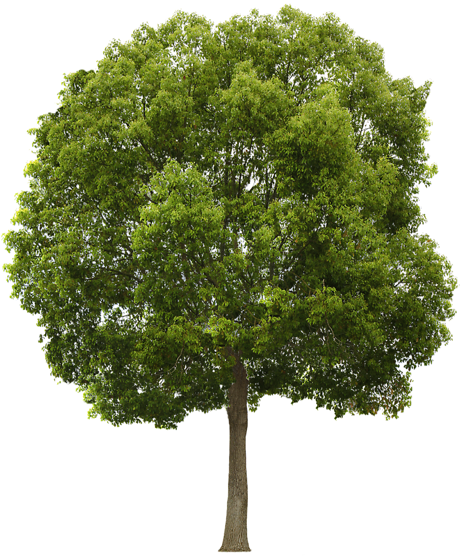 Mulberry tree clipart image transparent library Tree Collection Clipart Png #722 - Free Icons and PNG Backgrounds image transparent library
