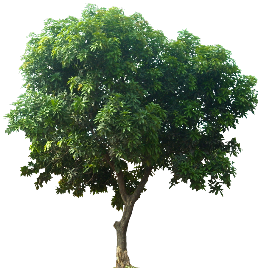 Mulberry tree clipart picture freeuse Icon Download Tree #752 - Free Icons and PNG Backgrounds picture freeuse