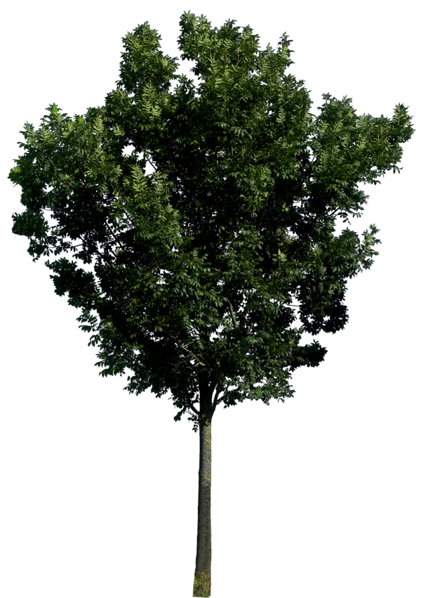 Mulberry tree clipart clipart library stock Tree PNG Image - PurePNG | Free transparent CC0 PNG Image Library clipart library stock