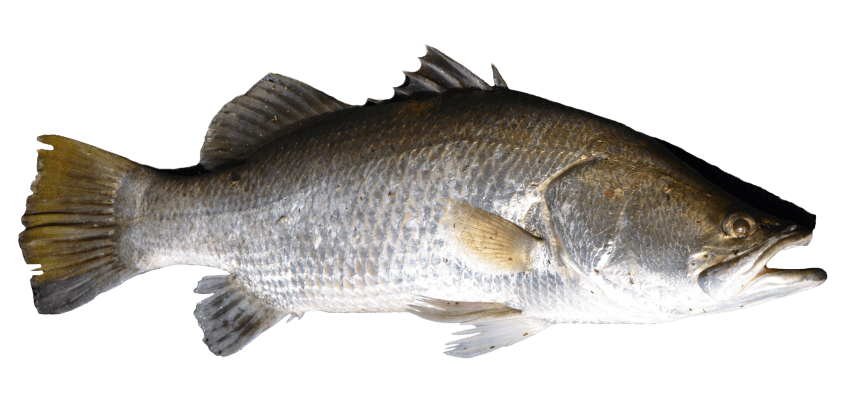 Mullet fish clipart clipart freeuse download fish png - Free PNG Images   TOPpng clipart freeuse download