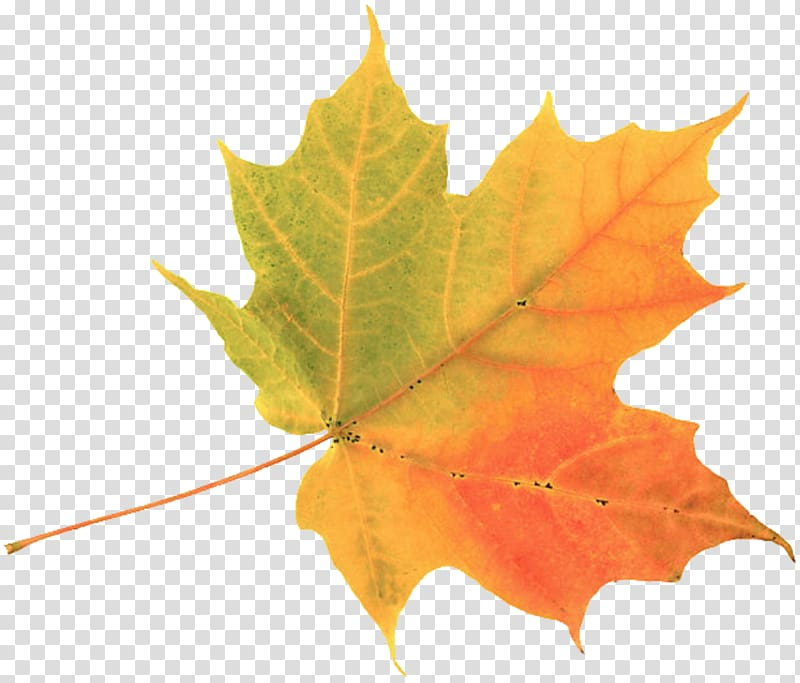Multicolored maple leaf clipart picture black and white download Yellow and orange maple leaf, Autumn leaf color Maple leaf , leaves ... picture black and white download