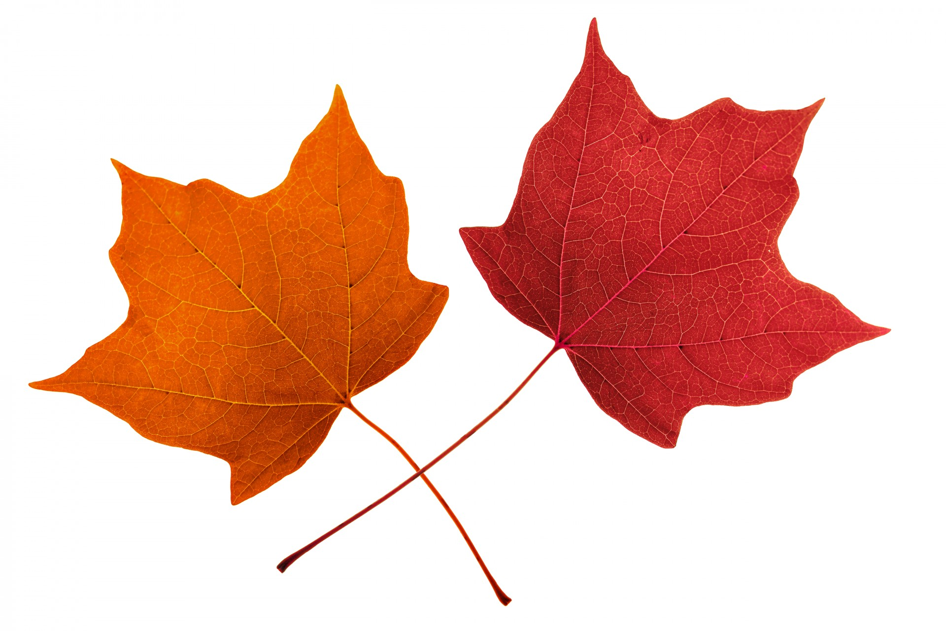 Multicolored maple leaf clipart vector download Leaves,isolated,maple,maple leaves,red - free photo from needpix.com vector download