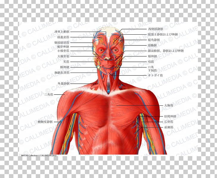Head And Neck Anatomy Muscular System Thorax Muscle PNG ... clip freeuse stock
