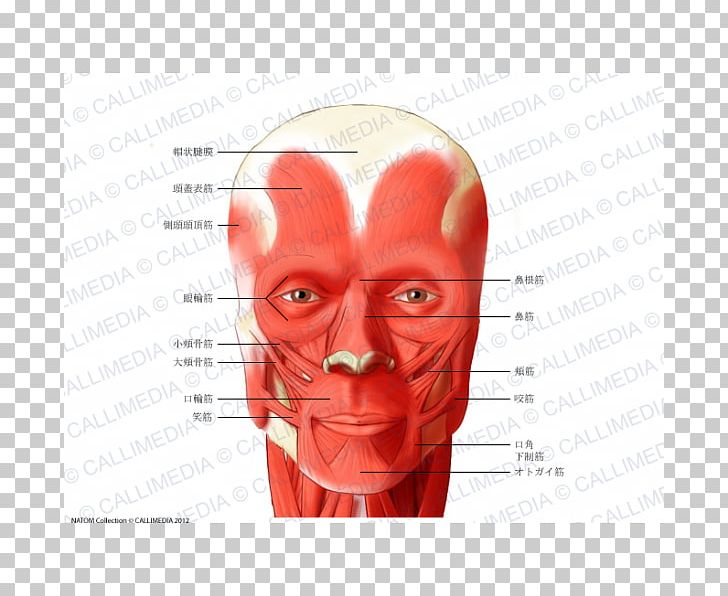 Muscle Head And Neck Anatomy Muscular System PNG, Clipart ... image transparent