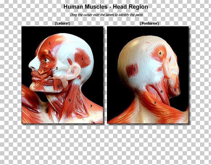 Nose Muscle Skull Head And Neck Anatomy Human Body PNG ... png transparent download