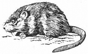Muskrat clipart clipart freeuse stock Muskrat Clipart | Clipart Panda - Free Clipart Images clipart freeuse stock