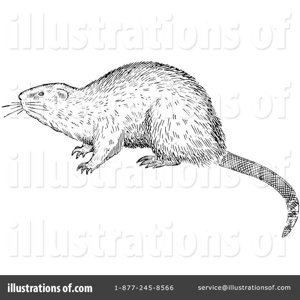 Muskrat Clipart #1218934 - Illustration by Picsburg image black and white