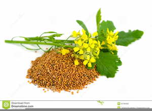 Mustard seed clipart download Free Mustard Seed Clipart | Free Images at Clker.com ... download