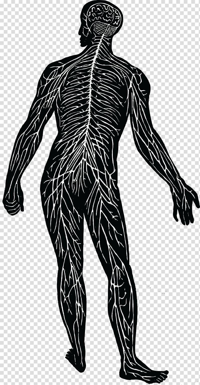 Nerve clipart download Nervous system Nerve Human body Muscular system , nervous ... download