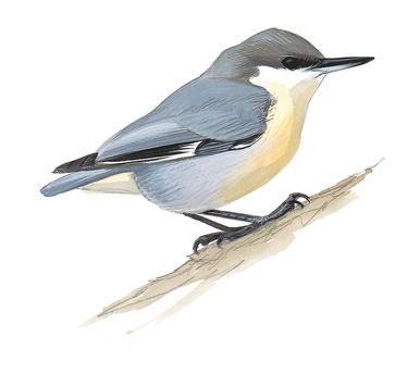 Nuthatch clipart jpg library download Nuthatches | Audubon jpg library download