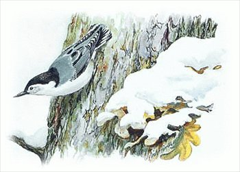 Nuthatch clipart jpg library library Free White-Breasted-Nuthatch Clipart - Free Clipart Graphics ... jpg library library
