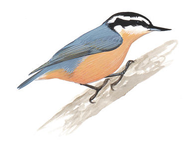 Nuthatch clipart banner black and white stock White-breasted Nuthatch | Audubon Field Guide banner black and white stock