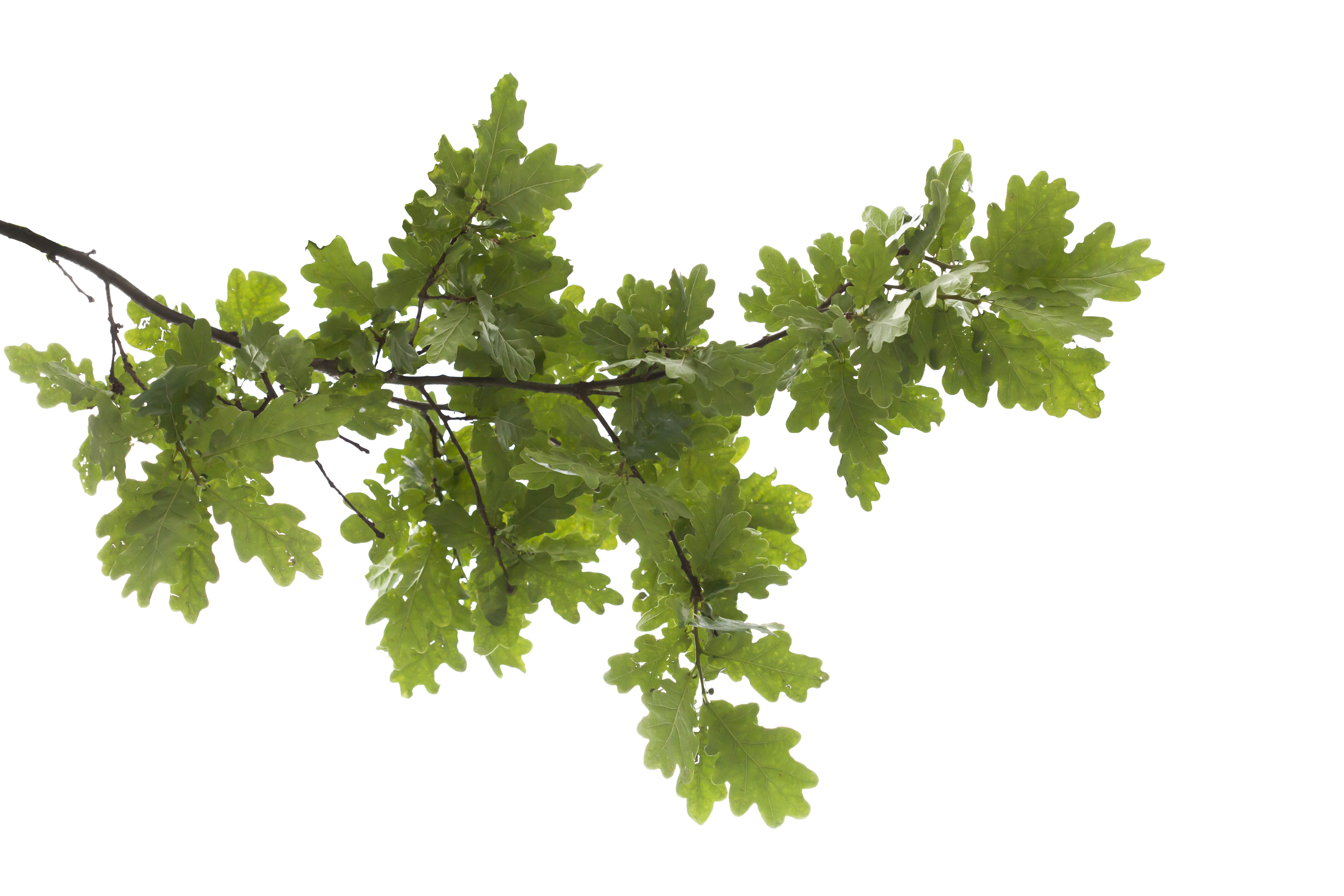 Oak tree branches clipart jpg royalty free oak-tree-icon-9.png (5616×3744) | PNG white bg | Pinterest jpg royalty free