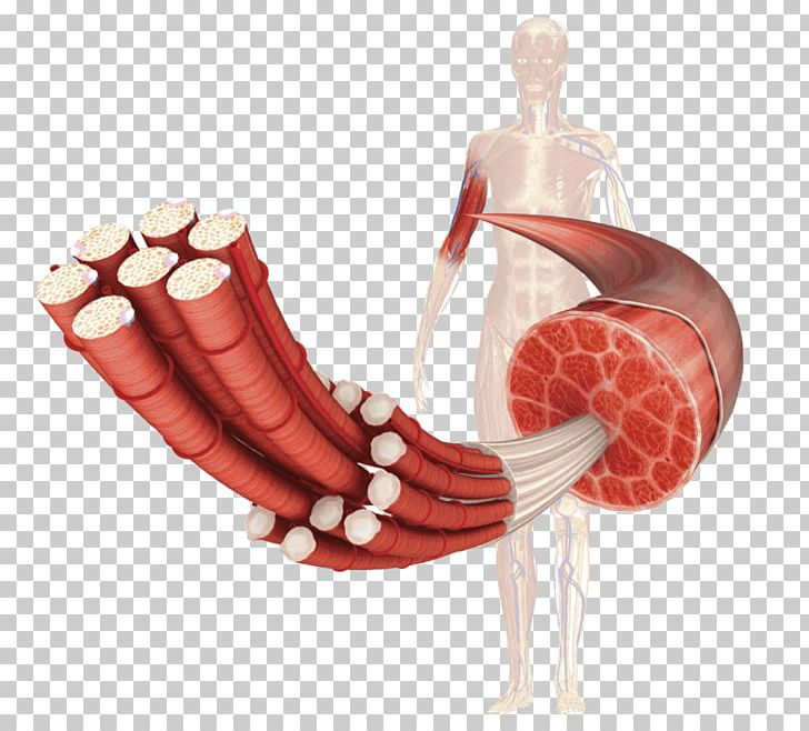 Occlusion clipart graphic free Vascular Occlusion Training Muscle Tissue Human Body Cell ... graphic free