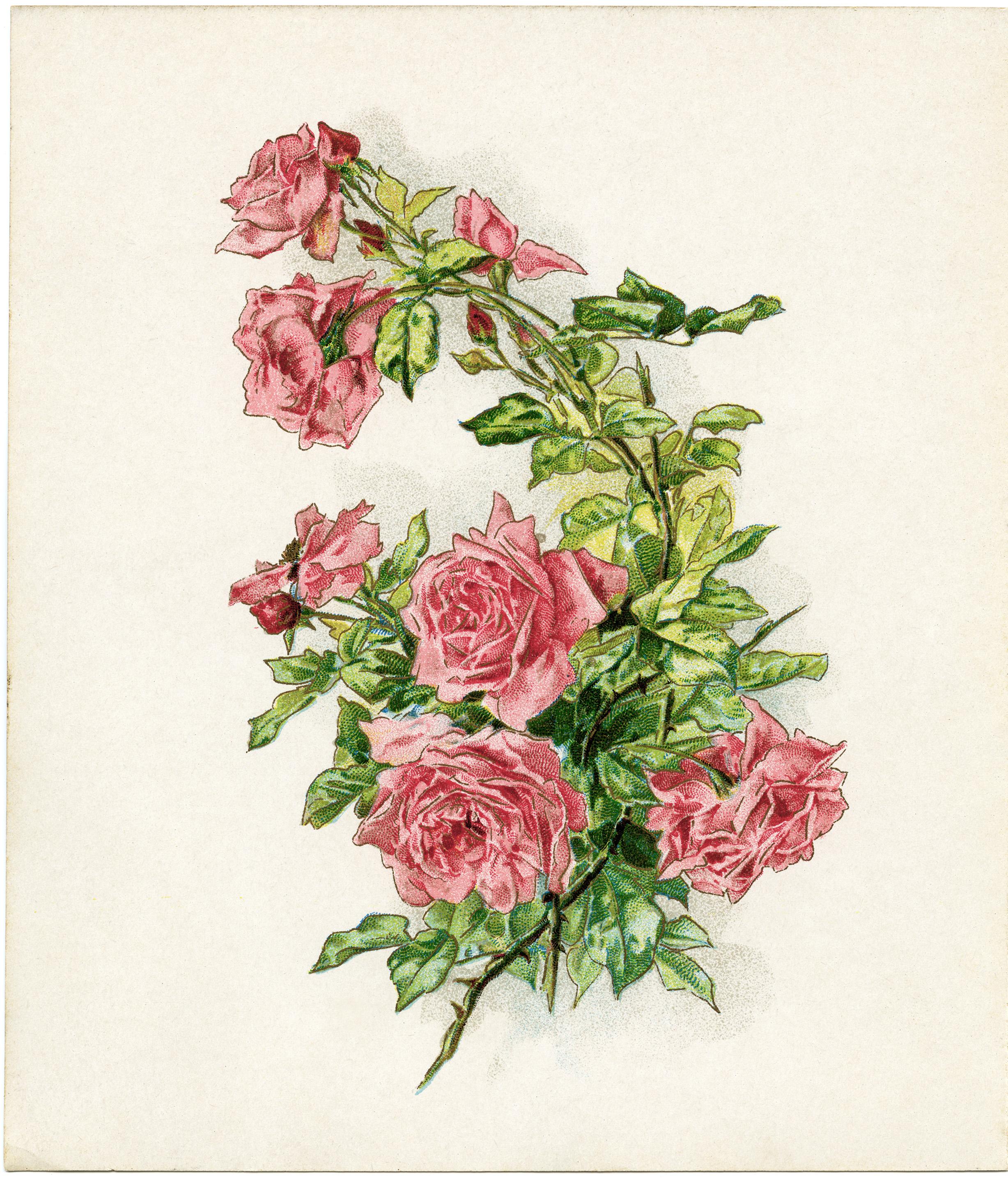 Old roses clipart image freeuse Free Vintage Image ~ Branch of Pink Roses - Old Design Shop Blog image freeuse