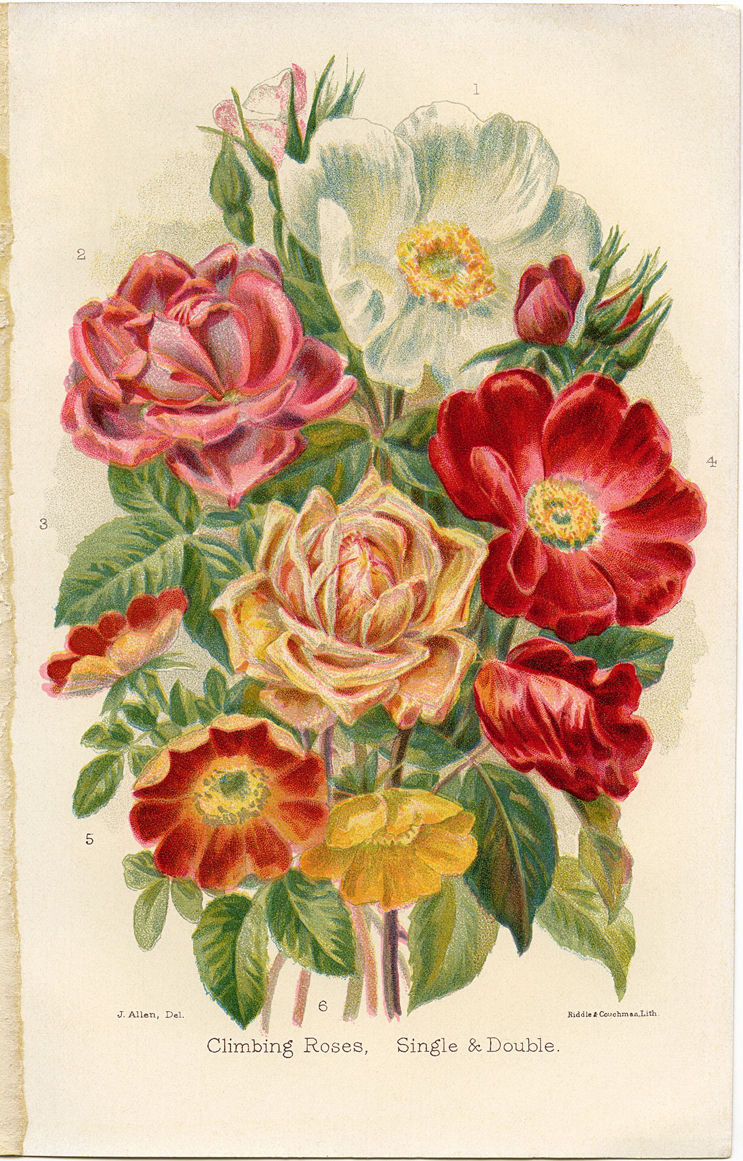 Old roses clipart clip art royalty free stock Free Vintage Clip Art Climbing Roses - Old Design Shop Blog clip art royalty free stock